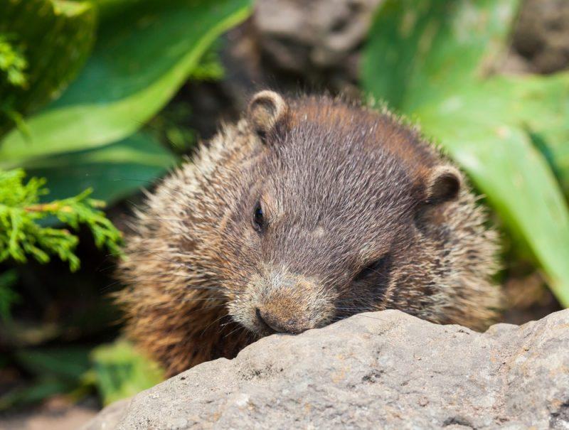 dormir como una marmota|